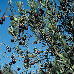 Olive quasi prossime alla maturazione (Foto Mario Giannini)